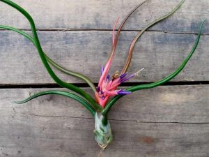 tillandsia-bulbosa-1